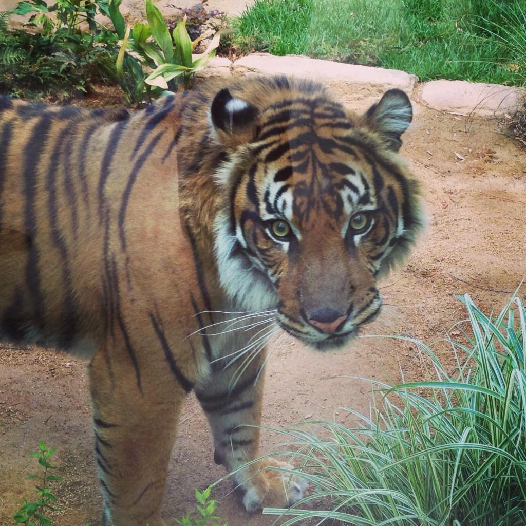 Tiger, staring me down