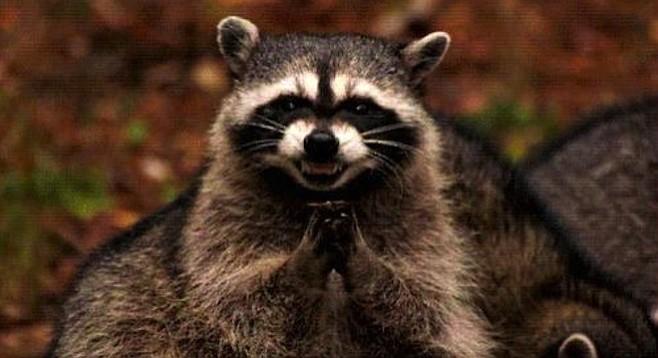 raccoon_t658